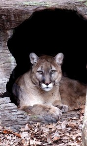 Eastern Cougar declared officially extinct